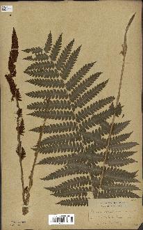 spécimen de Osmunda cinnamomea