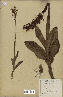 spécimen de Orchis mascula