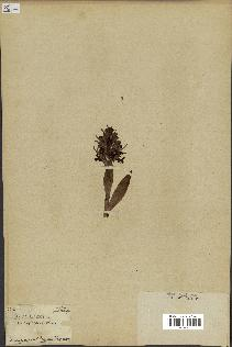 spécimen de Orchis robertiana