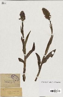spécimen de Orchis x braunii