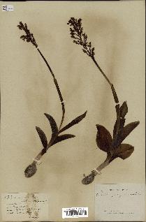 spécimen de Orchis militaris x purpurea