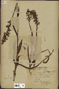 spécimen de Orchis laxiflora