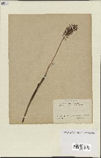 spécimen de Orchis x bergoni