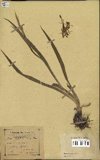 spécimen de Iris carthaliniae