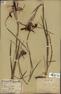spécimen de Iris kashmiriana