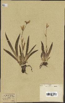 spécimen de Iris cengialti