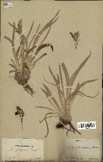 spécimen de Iris glaucescens