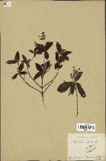 spécimen de Rondeletia peduncularis