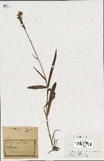 spécimen de Orchis maculata
